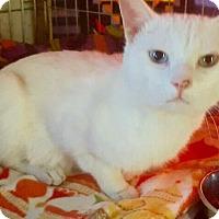 Adopt A Pet :: Pisacco - Bridgeton, MO