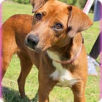 Adopt A Pet :: April~30 lbs ~ meet me! - Glastonbury, CT