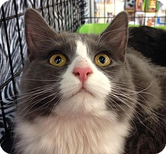 Maine Coon Cat for adoption in Mount Laurel, New Jersey - Gretel