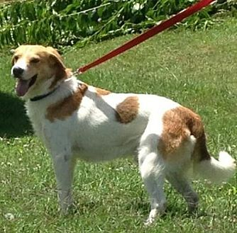 Collie/Beagle Mix Dog for adoption in Ashland, Kentucky - Marcus