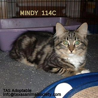 Domestic Longhair Cat for adoption in Spring, Texas - Mindy