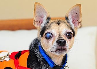 Chihuahua Dog for adoption in Fort Lauderdale, Florida - Rocco
