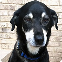 Adopt A Pet :: Pending! Cody - Bowie, MD