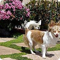 Adopt A Pet :: Holly - San Diego, CA