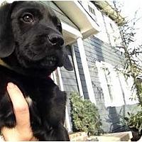 Adopt A Pet :: Homer Pup - Foster, RI