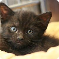 Adopt A Pet :: Shadow - Canoga Park, CA