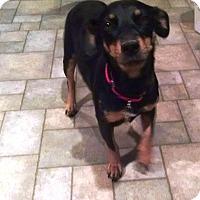Adopt A Pet :: Spivey - Richmond, VA