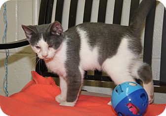 Domestic Shorthair Cat for adoption in Marietta, Ohio - Olaf (Neutered/Combo Tested)