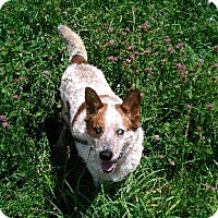Australian Cattle Dog Mix Dog for adoption in Baltimore, Maryland - Bandit