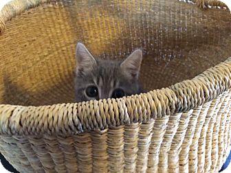 Domestic Shorthair Kitten for adoption in Meridian, Idaho - Busy Bea