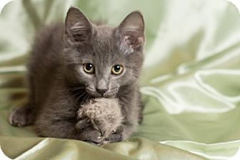 Domestic Shorthair Kitten for adoption in Lombard, Illinois - Cappuccino