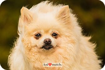 Pomeranian Dog for adoption in Ile-Perrot, Quebec - PRUNELLE