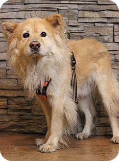 Chow Chow Mix Dog for adoption in Waldorf, Maryland - Noah
