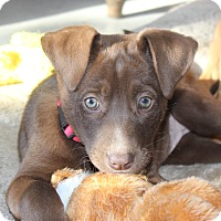 Adopt A Pet :: *Rosie - PENDING - Westport, CT