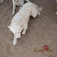 Adopt A Pet :: Puff - Radium Springs, NM