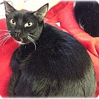 Domestic Shorthair Cat for adoption in Huntington, New York - Nellie