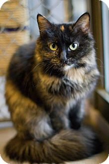 Domestic Longhair Cat for adoption in Grayslake, Illinois - Twix