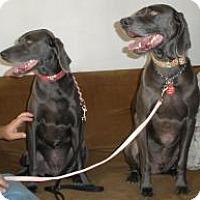 Weimaraner Dog for adoption in Sun Valley, California - Ciroq & TK