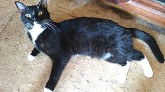 Domestic Shorthair Cat for adoption in Fredericksburg, Virginia - Quasar