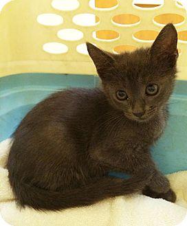 Russian Blue Kitten for adoption in Metairie, Louisiana - Boris