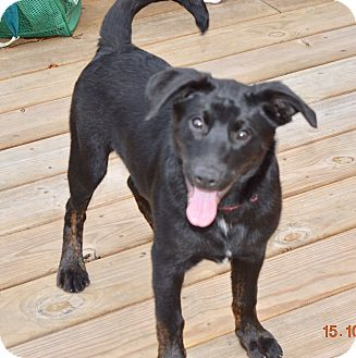 Shepherd (Unknown Type)/Labrador Retriever Mix Puppy for adoption in Harrisburg, Pennsylvania - Buddy