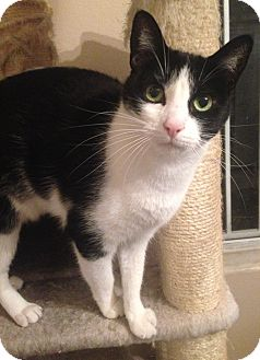 Domestic Shorthair Cat for adoption in Los Angeles, California - Lucy