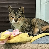 Domestic Shorthair Cat for adoption in Smithtown, New York - Cassie and mama