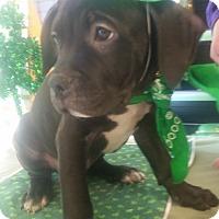 Adopt A Pet :: Rollie - Detroit, MI