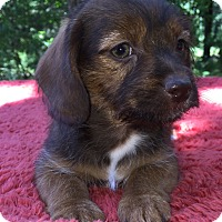 Dalmatian/Shih Tzu Mix Puppy for adoption in SOUTHINGTON, Connecticut - Sissy
