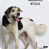 Adopt A Pet :: Beethoven - Baton Rouge, LA