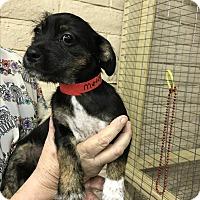 Adopt A Pet :: Metis - Redding, CA