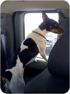Rat Terrier/Fox Terrier (Smooth) Mix Dog for adoption in Fowler, California - Russell