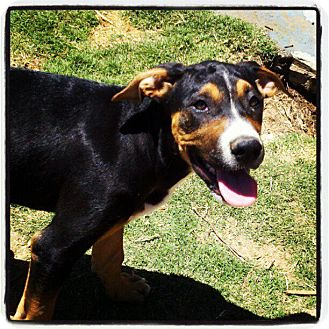 Doberman Pinscher/Boxer Mix Puppy for adoption in Bakersfield, California - Gilly