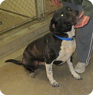 English Springer Spaniel/Coonhound Mix Dog for adoption in Geneseo, Illinois - Spartacus