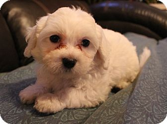 Maltese Mix Puppy for adoption in Chicago, Illinois - JACK
