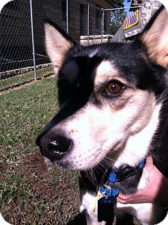 Kai Dog Mix Dog for adoption in Fort Riley, Kansas - Sheik