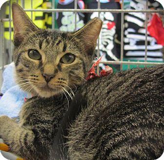 Domestic Shorthair Cat for adoption in Seminole, Florida - Herbie Jr.