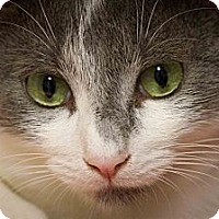 Domestic Shorthair Cat for adoption in Bulverde, Texas - Alvin