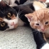 Adopt A Pet :: Lacy - Vancouver, BC