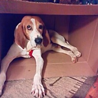 Adopt A Pet :: Huckleberry - Asheville, NC