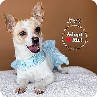 Chihuahua Mix Dog for adoption in Mesa, Arizona - Jolene
