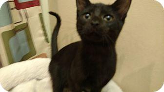 Domestic Shorthair Cat for adoption in Tampa, Florida - Jonah