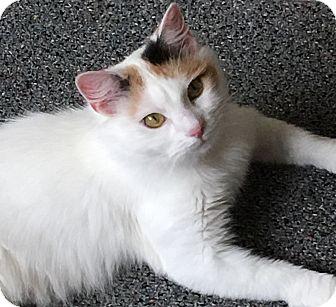 Domestic Mediumhair Cat for adoption in Buchanan, Tennessee - Silky