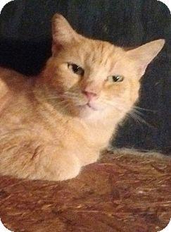 Domestic Shorthair Cat for adoption in Charlotte, North Carolina - Sundrop
