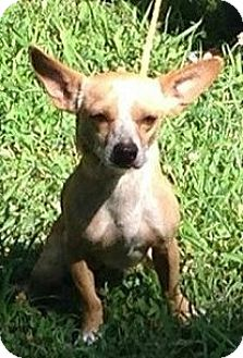 Chihuahua Dog for adoption in Wallingford Area, Connecticut - Rocky