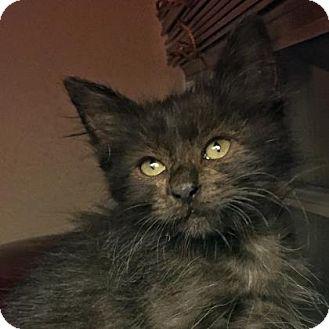Domestic Mediumhair Kitten for adoption in Austin, Texas - Keith