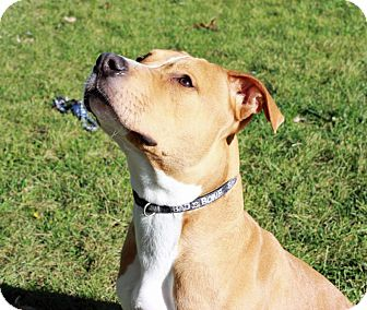 American Staffordshire Terrier/Terrier (Unknown Type, Medium) Mix Dog for adoption in Troy, Michigan - Brautty
