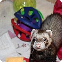 Adopt A Pet :: Eddie - Chantilly, VA