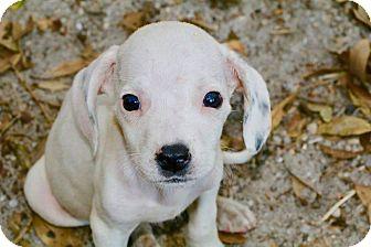 Beagle/Hound (Unknown Type) Mix Puppy for adoption in Saint Augustine, Florida - Dewey