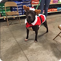 Adopt A Pet :: Scout - Bellingham, WA